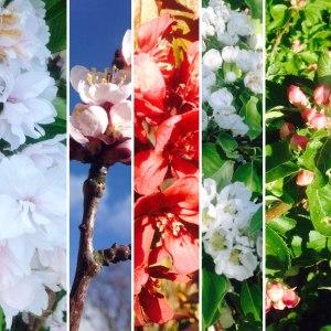 blommandetrad