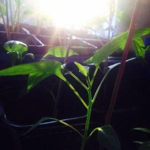 Chiliplanta_orangeriet