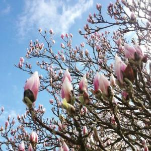 Magnolian_blommar